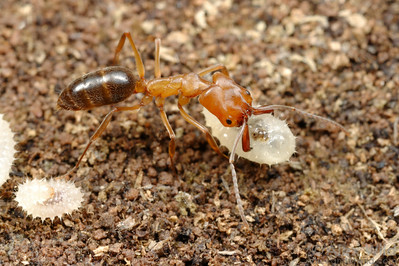 Odontomachus clarus.  Although the mandibles of trap-jaw ants appear designed primarily for hunting, they also must serve in more traditional roles to excavate the nest and carry brood.  This worker is holding a larva.  Portal, Arizona, USA
