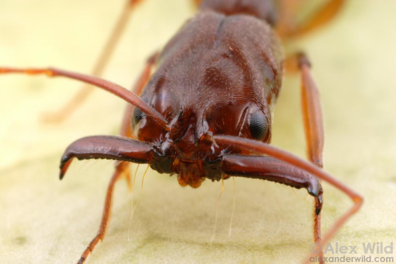 Odontomachus meinerti