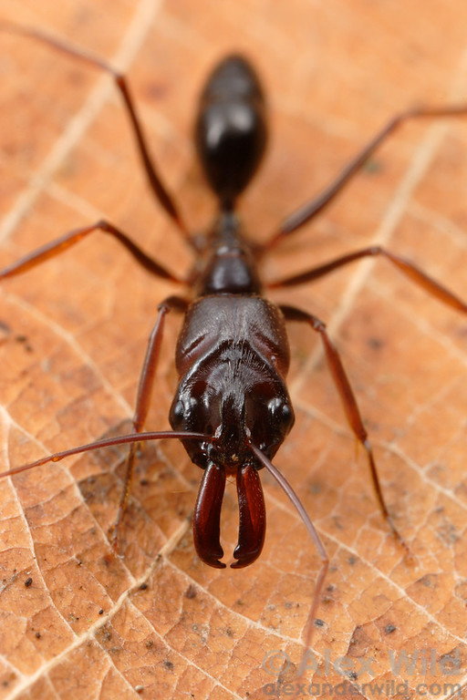 Odontomachus assiniensis.  The odd, alien-shaped head of a trap-jaw ant serves to house the set of muscles and latches that operate the ant's mandibular trap.  St. Lucia, KZN, South Africa