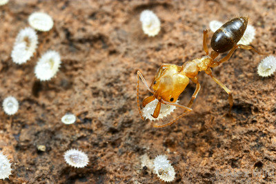Spiky larvae are characteristic of ponerine ants.  Here, an Odontomachus clarus desert trap-jaw ant tends to larvae in the brood nest.  Portal, Arizona, USA