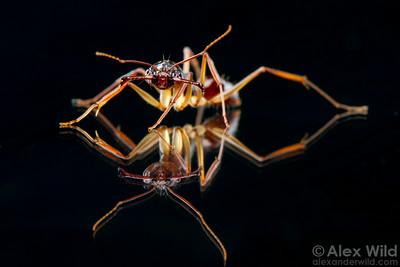 Portrait of the trap-jaw ant Odontomachus rixosus.  Cambodia (laboratory colony at the University of Illinois)