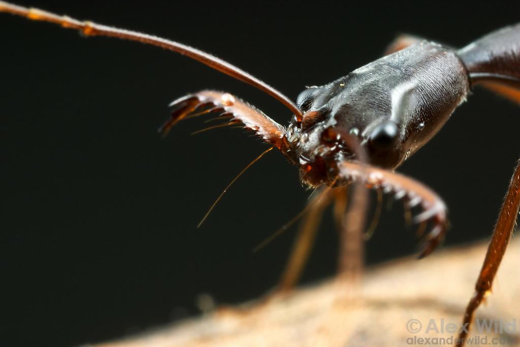 Odontomachus coquereli