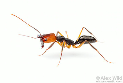 The brightly colored head of Odontomachus erythrocephalus makes this species among the most recognizable trap-jaw ants.  Icononzo, Tolima, Colombia