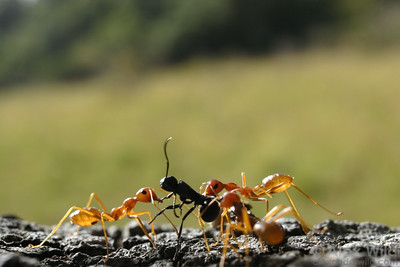 Oecophylla longinoda workers cooperate to bring an ant they have killed back to their nest.  Ants don't normally eat members of their own species, but they will readily consume members of other species.  St. Lucia, KZN, South Africa