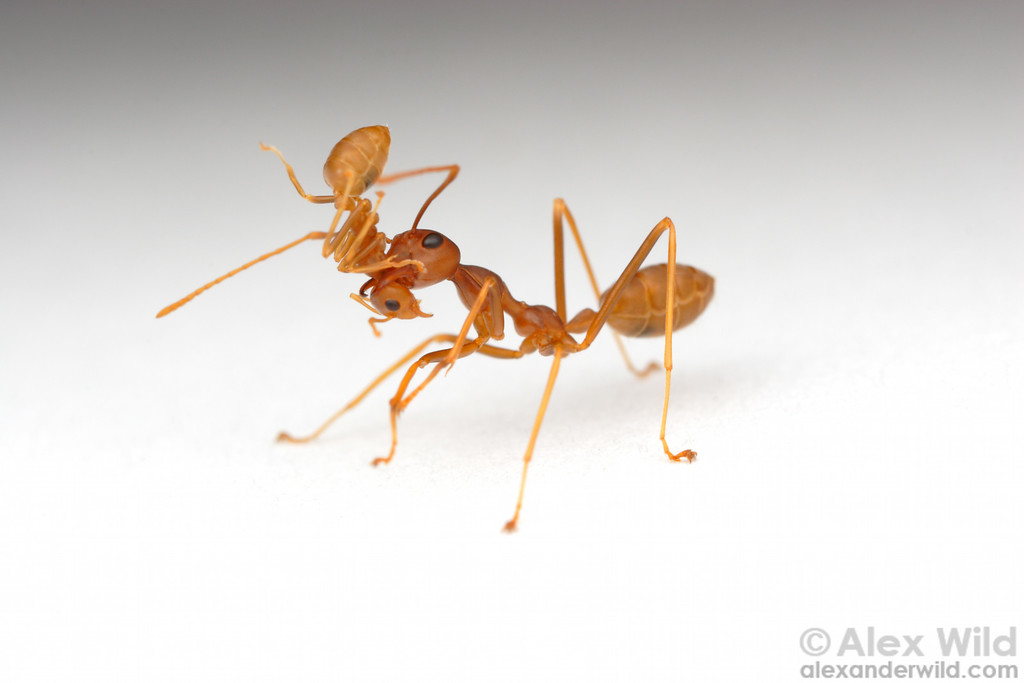 Nestmate transport in Oecophylla longinoda weaver ants: a major gives a lift to a minor worker.  This form of transport is thought to be more energy efficient than if both ants were to walk individually.   St. Lucia, KZN, South Africa