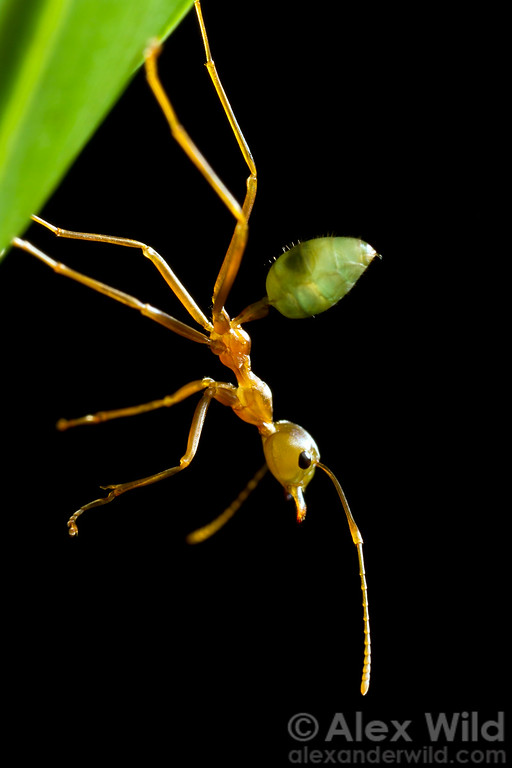 An Oecophylla smaragdina weaver ant guard hangs from the bottom of her nest, alert to any photographers that might try anything brash.  Cape Tribulation, Queensland, Australia