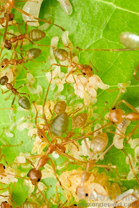 Eggs and young larvae inside the brood nest of Oecophylla smaragdina weaver ants.  Cairns, Queensland, Australia