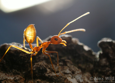Oecophylla longinoda.  Backlighting this ant reveals her respiratory system in great detail.  St. Lucia, KZN, South Africa