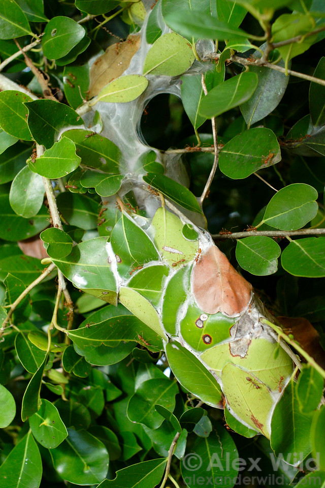 This ant nest- crafted from living leaves in an African forest- is held together by silk spun by the larvae. This unusual nesting habit has earned these insects (Oecophylla longinoda) the common names 'weaver ant' and 'tailor ant.'  St. Lucia, KZN, South Africa