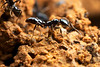Onychomyrmex : Onychomyrmex is a rare amblyoponine ant found only in the rainforests of northeastern Australia.  It is unusual among amblyoponines in having a life cycle similar to that of army ants.
