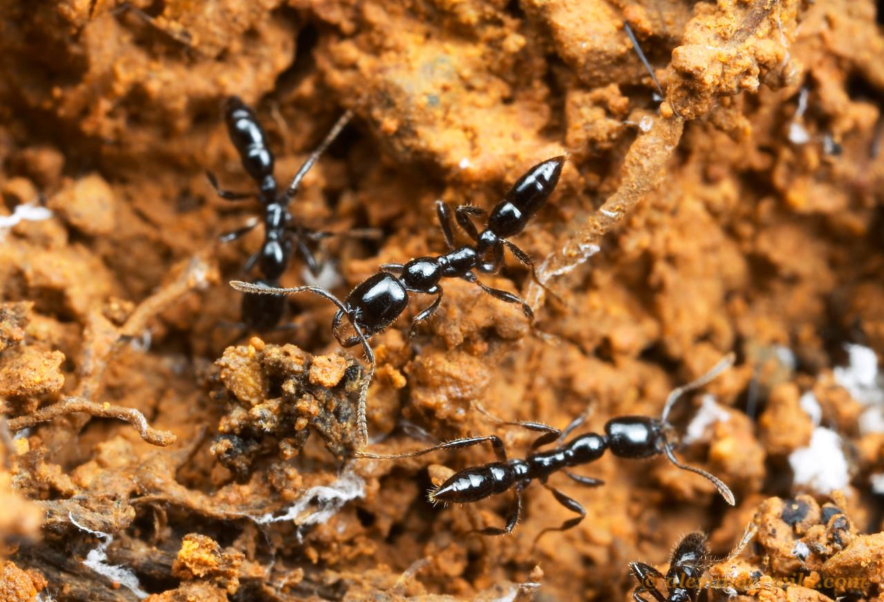 Onychomyrmex hedleyi  Cape Tribulation, Queensland, Australia