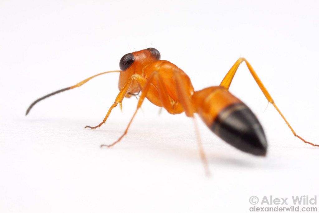 Opisthopsis haddoni strobe ants have excellent vision.    Northern Territory, Australia