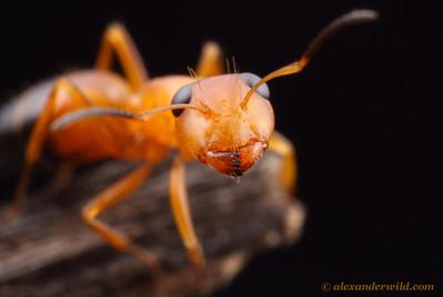 Opisthopsis haddoni strobe ant.  Northern Territory, Australia