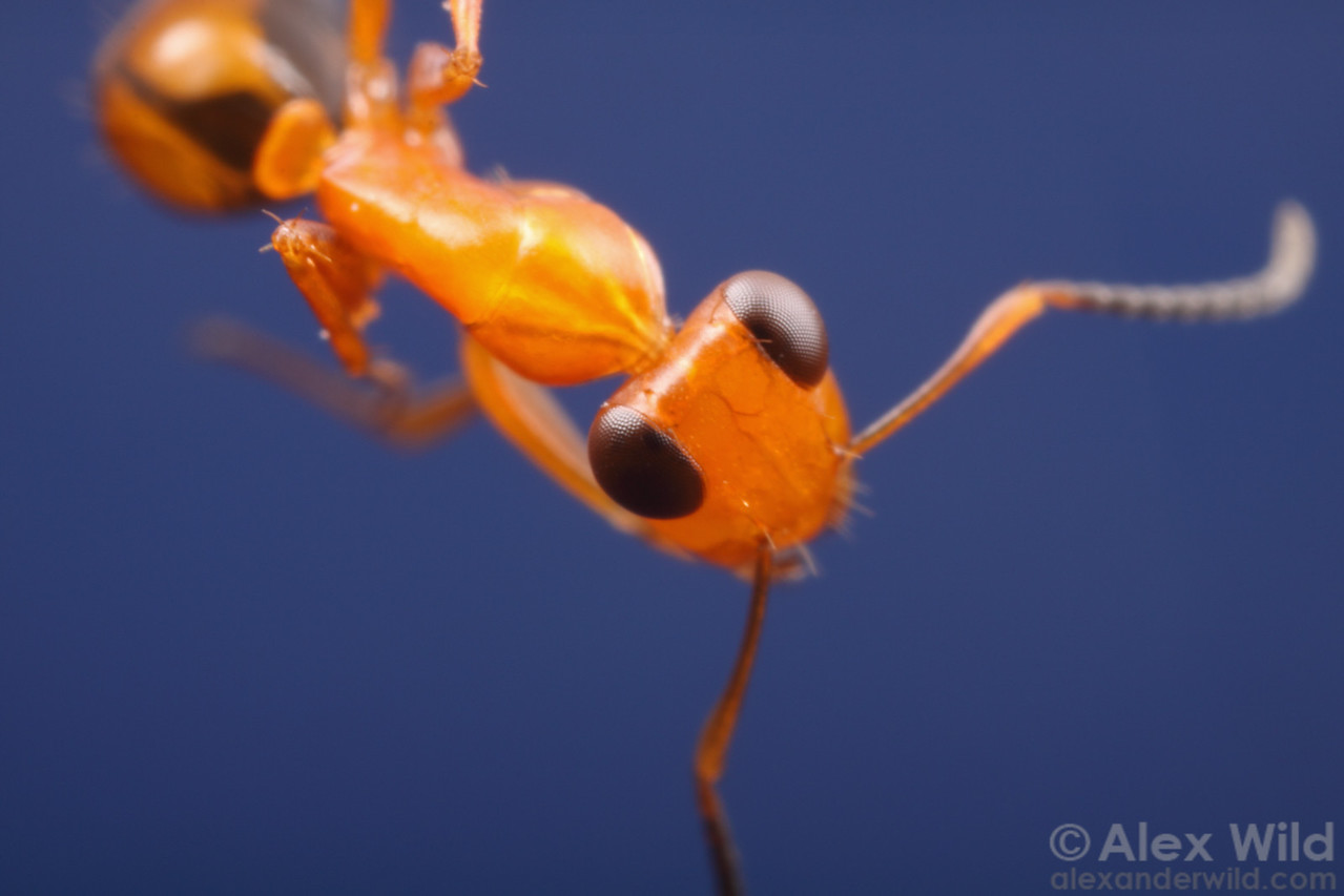 Opisthopsis haddoni strobe ant worker showing off her compound eyes.  Northern Territory, Australia