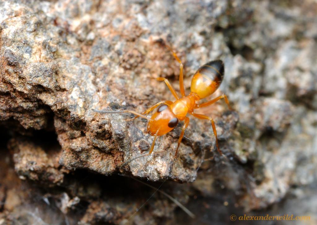 Opisthopsis haddoni strobe ant.   Iron Range National Park, Queensland, Australia