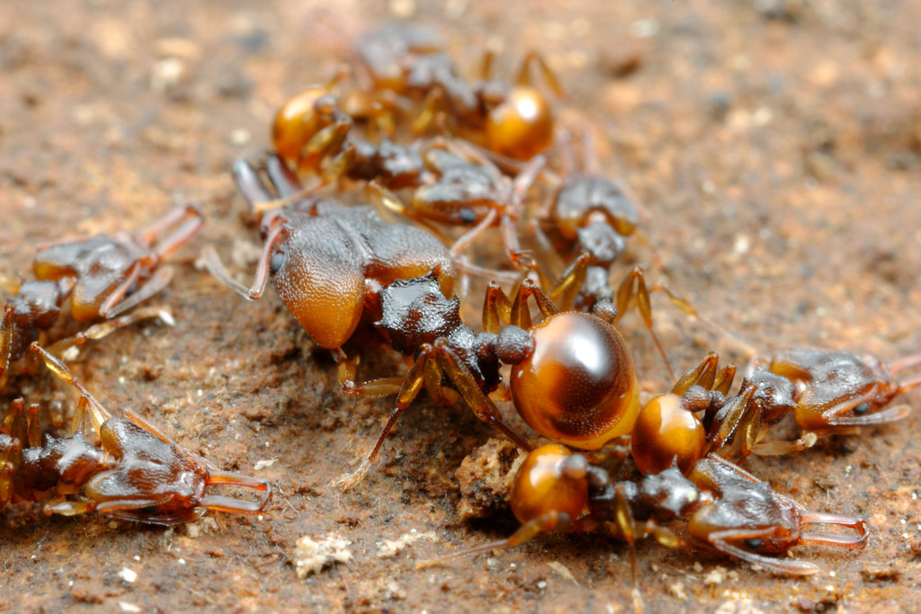 Orectognathus versicolor is unusual for a trap-jaw ant in having a major worker caste (the large ant at center).  The function of majors in this species remains unknown; other Orectognathus lack majors.  Brisbane, Queensland, Australia