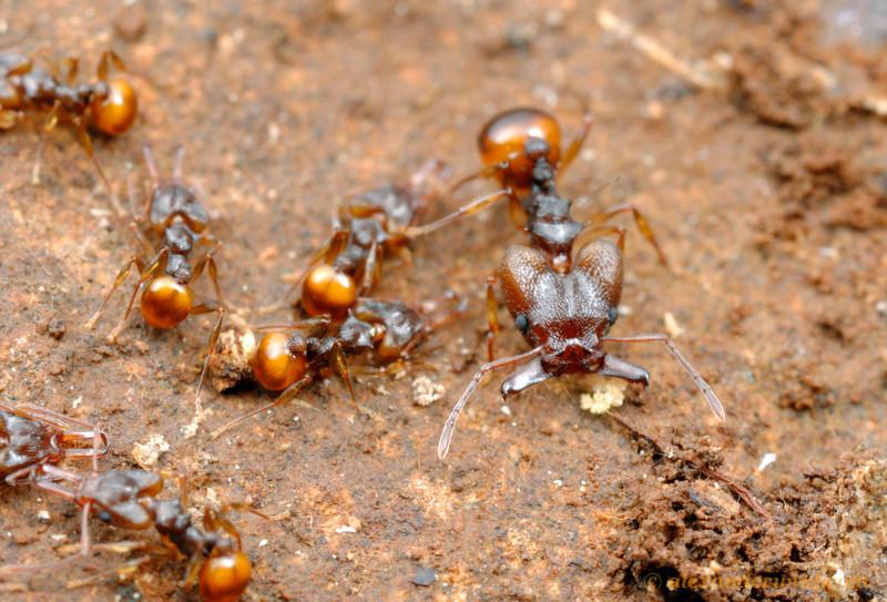 Orectognathus versicolor, minor and major workers in the nest.  Brisbane, Queensland, Australia