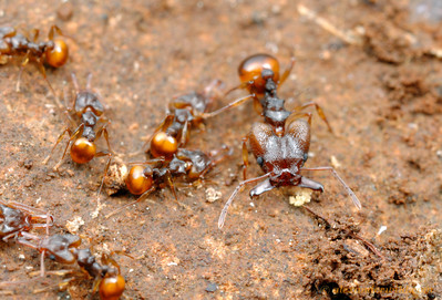 Orectognathus versicolor, minor and major workers in the nest.  Brisbane, Queensland, Australia