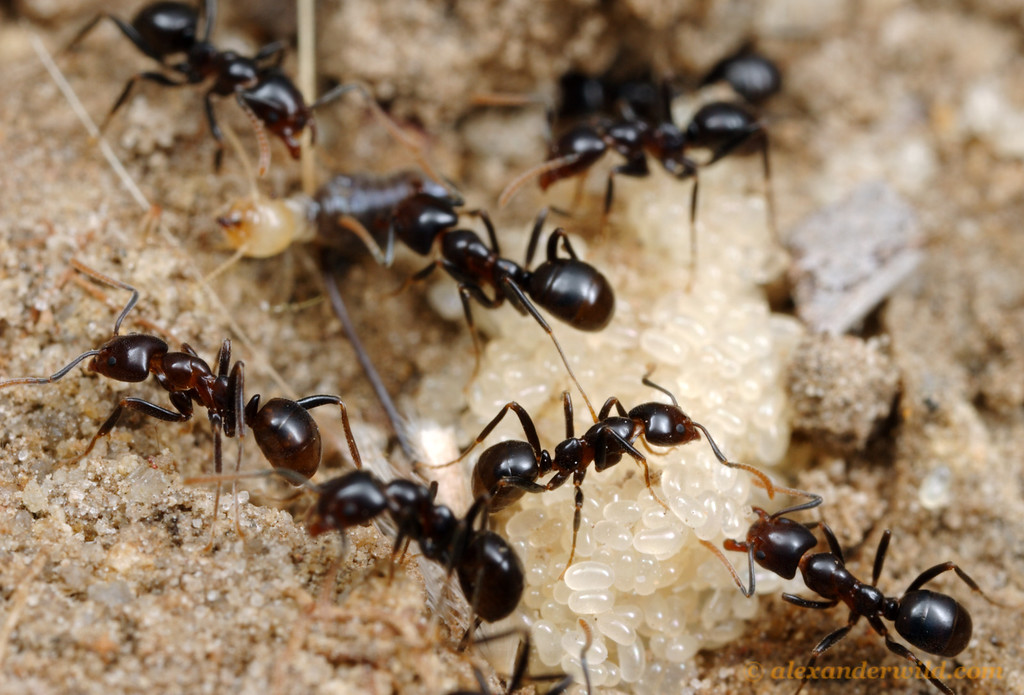 Papyrius nitidus.  Eggs and worker ants in the brood nest.  In the background is a termite carcass that the ants have carried in as food for the developing ant larvae.  Iron Range National Park, Queensland, Australia