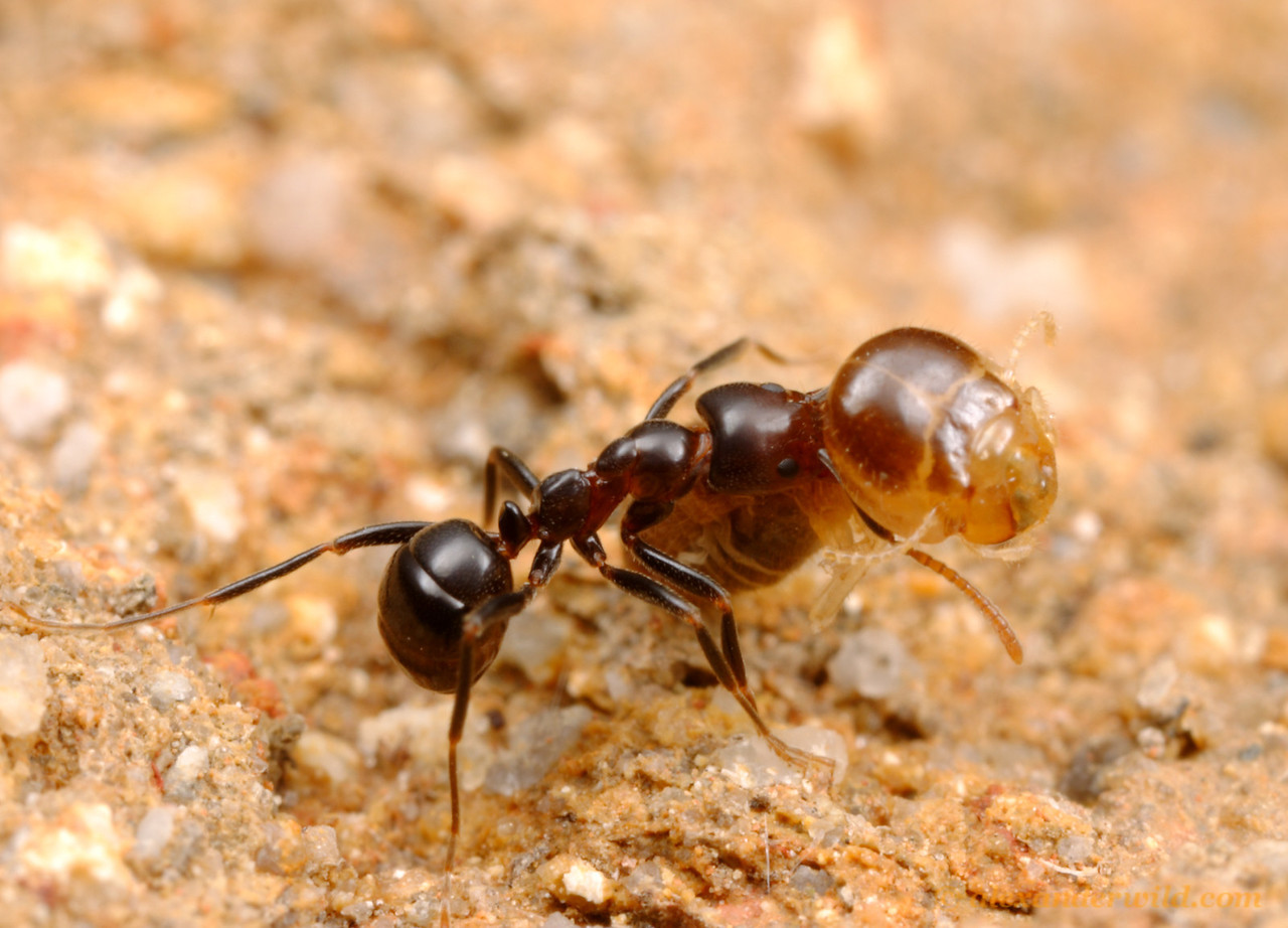 This Papyrius nitidus worker ant has captured a termite and is carrying it back to her nest.  Termites are a favorite food for many types of ants.  Iron Range National Park, Queensland, Australia