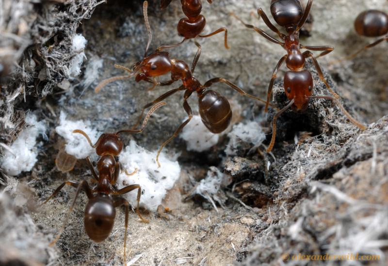 Papyrius sp. worker ants tending to hemipteran nymphs inside a protective shed the ants have built out of plant fibers.  Little Desert National Park, Victoria, Australia