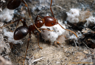 Papyrius sp. worker ant tending to hemipteran nymphs inside a protective shed the ants have built out of plant fibers.  Little Desert National Park, Victoria, Australia