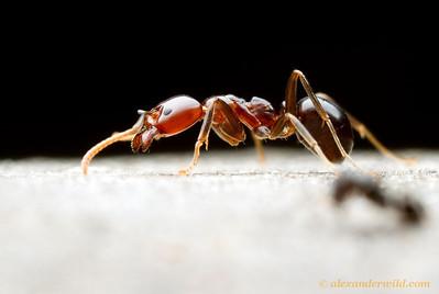 A foraging Papyrius ant.   Yandoit, Victoria, Australia