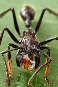 A Paraponera clavata bullet ant worker carries a droplet of water between her mandibles.  Misahaullí, Napo, Ecuador