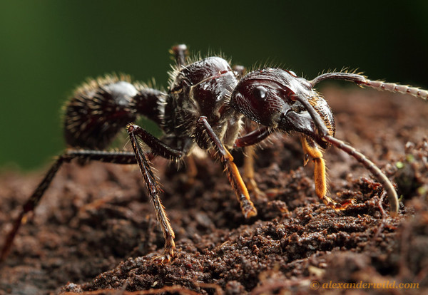 Paraponera clavata foundress queen foraging along the Amazonian forest floor.  Jatun Sacha reserve, Napo, Ecuador