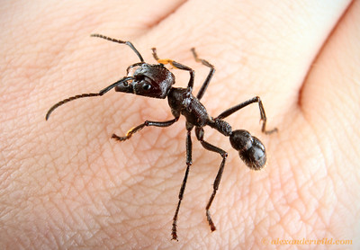 The fearsome Paraponera clavata bullet ant is reputed to impart the most painful sting of any insect. This worker, however, was content to walk about on my hand without showing any aggression.  Misahaullí, Napo, Ecuador