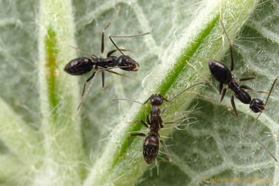 Paratrechina longicornis black crazy ants feeding from an extrafloral nectary.  Isla Contadora, Panama