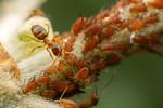 Nylanderia sp.