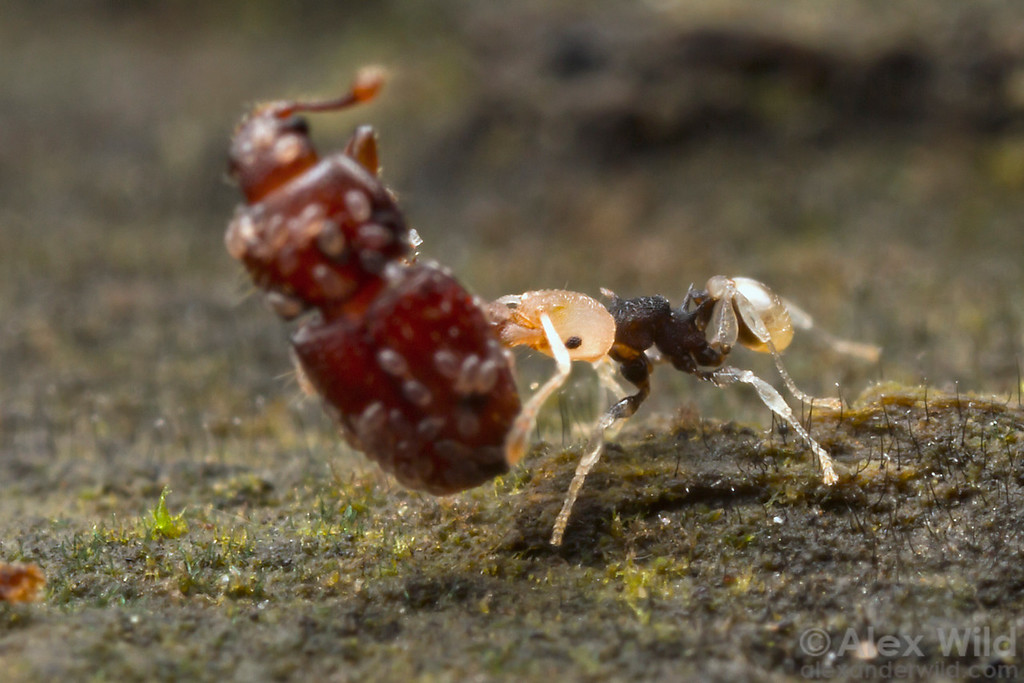 A Pheidole minor worker has picked up a beetle carcass and is carrying it back to her nest. Ants are important scavengers and recyclers of dead arthropods.  Cape Tribulation, Queensland, Australia