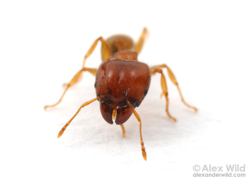 Pheidole megacephala, the big-headed ant- is one of the world's most damaging invasive ant species.  St. Lucia, KZN, South Africa