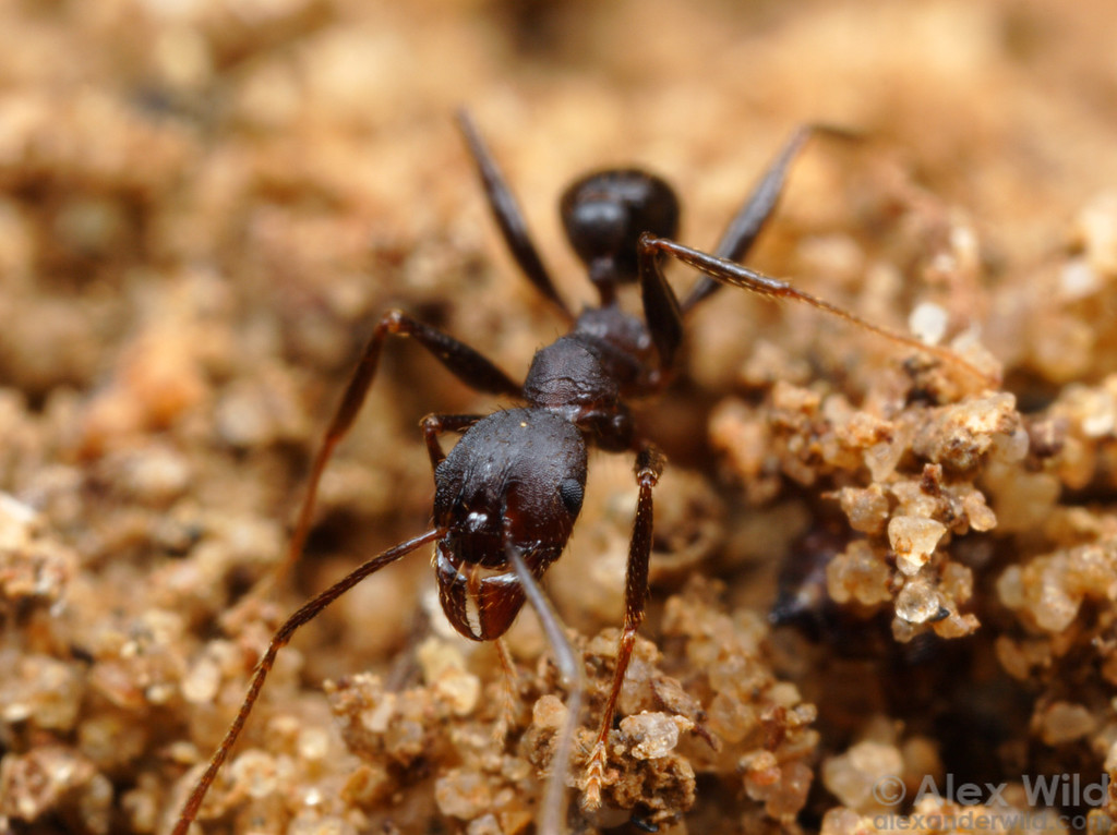 Pheidole sp.  St. Lucia, KZN, South Africa