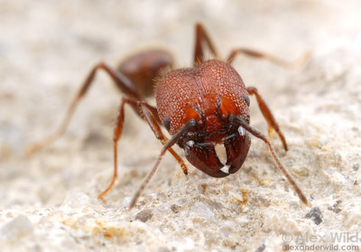 Pheidole obscurithorax, a predatory species with jaws designed for slicing.  Pensacola, Florida, USA