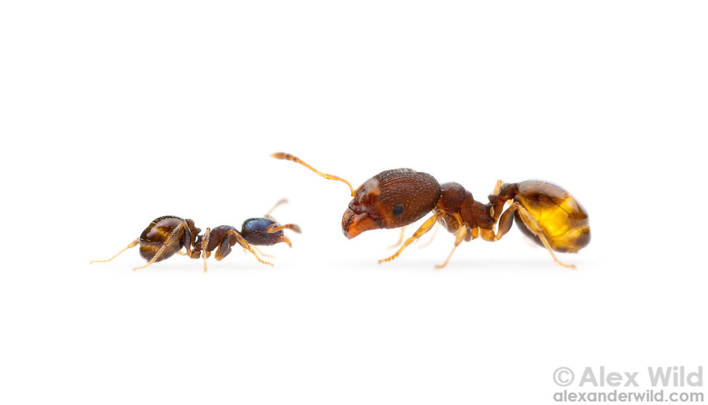 Pheidole metallescens, minor and major workers. Major workers of some species of Pheidole are repletes, storing large amounts of liquid food in their social stomachs.  Gainesville, Florida, USA