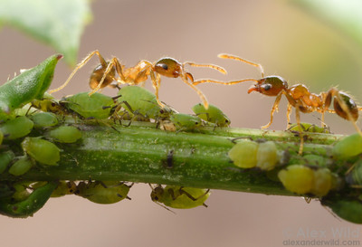 Ants (Pheidole megacephala) tending aphids for honeydew.  The tight association of ants and aphids give the ants a significant carbohydrate boost and the aphids protection from predators.  St. Lucia, KZN, South Africa