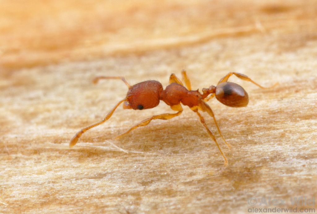 Pheidole moerens, an increasingly common tramp ant in warmer climates around the world.  New Orleans, Louisiana, USA