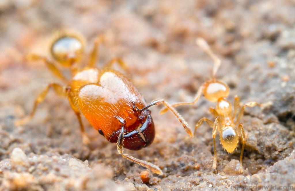 Major and minor workers of a subterranean Pheidole species.  Icononzo, Tolima, Colombia