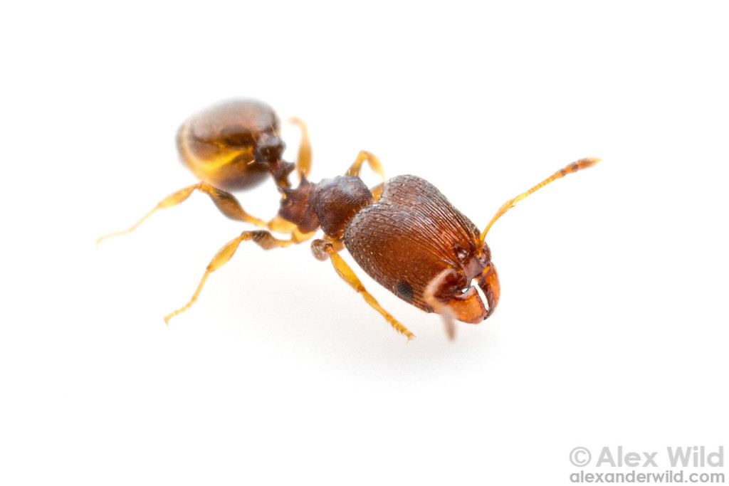 Pheidole metallescens major worker.  Gainesville, Florida, USA