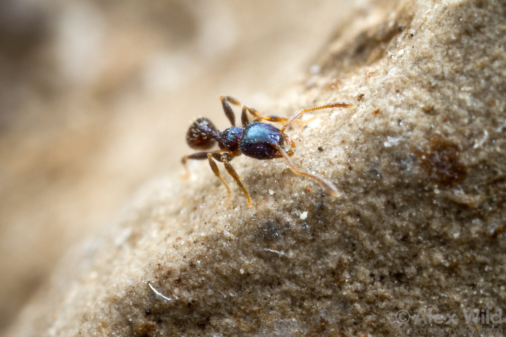 Minor workers of the southeastern Pheidole metallescens are one of North America's few iridescent ants.  Gainesville, Florida, USA
