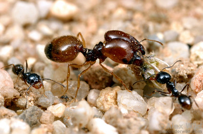 Major and minor workers of Pheidole barbata, a small harvester ant.  Carrizo Plain National Monument, California, USA