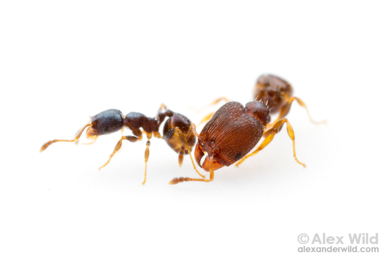 Pheidole metallescens, minor and major workers.  Gainesville, Florida, USA