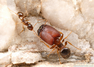 Pheidole tepicana  Arizona, USA