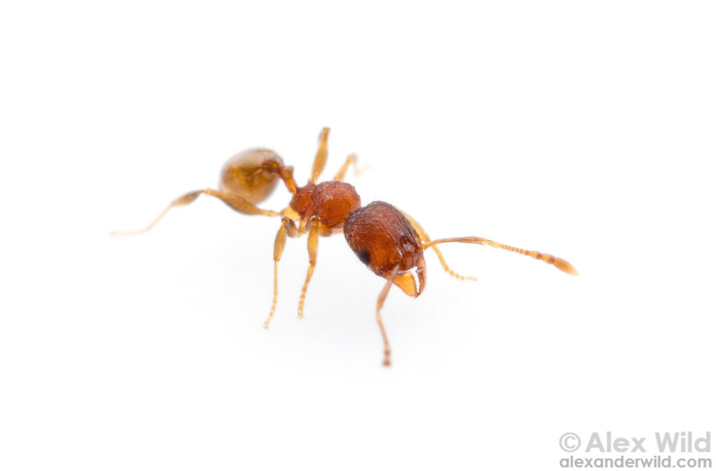 Pheidole dentigula minor worker.  Gainesville, Florida, USA