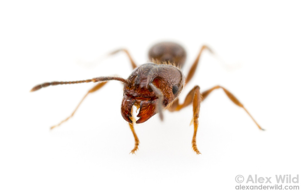 Portrait of a Pheidole vafra major worker.   Morretes, Paraná, Brazil