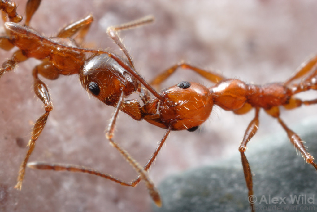 Minor workers of Pheidole spininodis (left) and Pheidole bergi lock mandibles in a fight between competing colonies.  Jujuy, Argentina