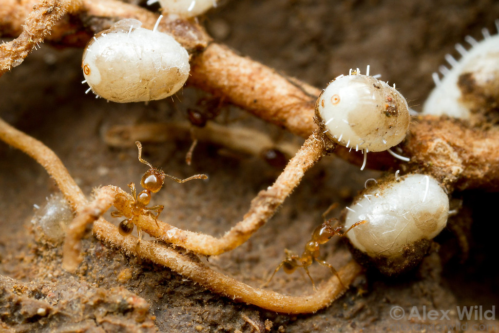 Ten centimeters below the soil surface, Pheidole ants tend ground pearls (Hemiptera: Margarodidae) for honeydew. Ground pearls are sap-feeding insects that exude excess sugar attractive to ants, while the ants help transport the young insects to new plants.  Icononzo, Tolima, Colombia
