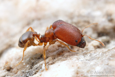 Pheidole tepicana supermajor.  The massive head of this granivorous ant holds muscles for milling seeds.  Arizona, USA